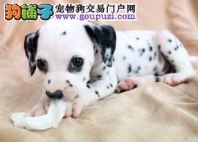 犬舍出售高端斑点狗犬 ,保证纯种健康