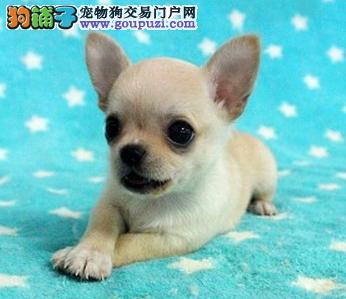苹果头超小型的吉娃娃幼犬,颜色对称很迷人