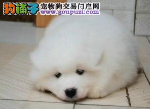 纯种聪明的小天使萨摩耶犬,活泼开朗