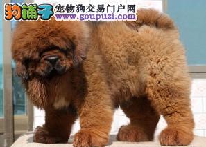 纯种狮头藏獒幼犬出售 血统纯 品相好 公母都有