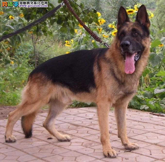出售纯种健康的优质的狼狗,血统纯正、品质优好