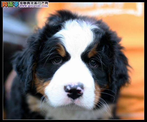 超纯种伯恩山犬哪里有 伯恩山犬去哪儿买