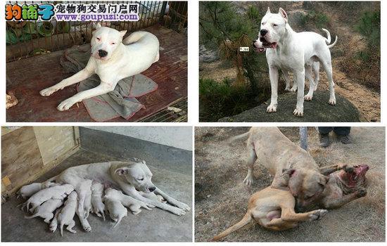 哪里有卖马犬的 河北省
