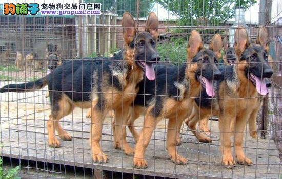 哪里有卖马犬的福建省