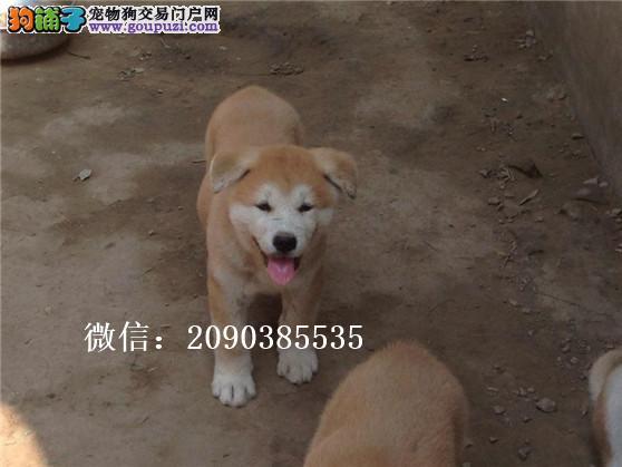 犬舍直销精品秋田幼犬,包健康90天,喜欢加我微信