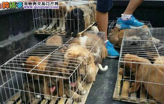 什么地方格力犬幼犬 陕西省