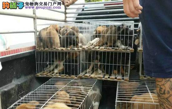 广东肉狗养殖场、广东肉狗苗价格