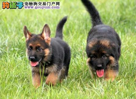 广东八一犬舍可上门挑选 视频挑选 狼狗