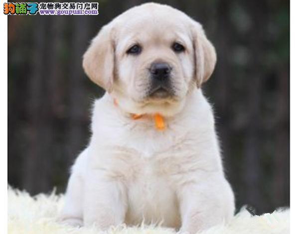 犬舍直销拉布拉多宝宝 希望能够找到喜欢他的主人