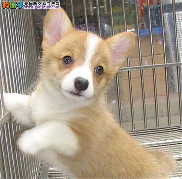 聪明可爱柯基、颜色齐全、品相完美、可视频看狗