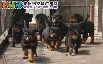 赛级罗威纳幼犬,包纯种健康签订协议