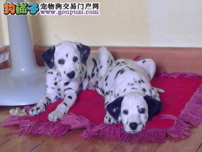 斑点 包纯种健康,犬舍直销签订购犬协议