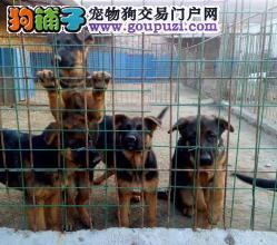 鼎胜宠物繁殖基地直销德国牧羊犬