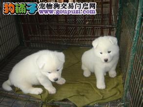 基地出售萨摩耶幼犬,包纯种健康