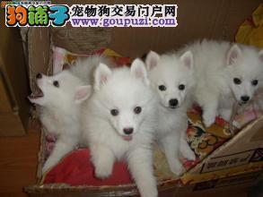 高品质日本银狐幼犬,常年有售包健康