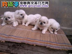 犬舍直销北京京巴犬,包纯种健康签协议