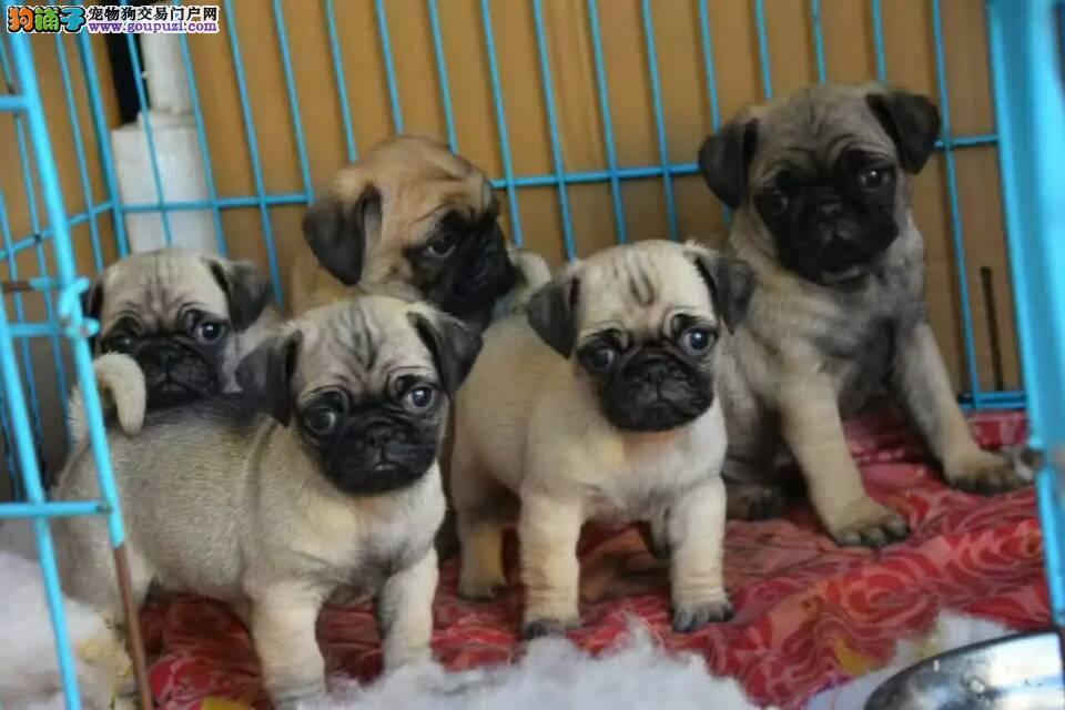 买巴哥 吉娃娃就选七宠犬舍