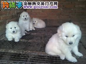 宠物繁殖基地常年出售大白熊幼犬。