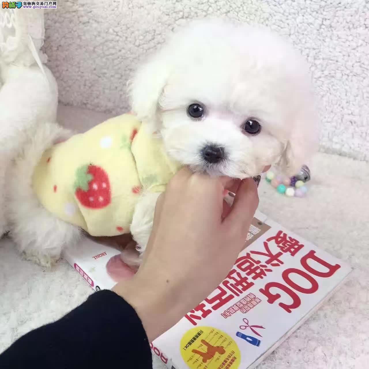七宠犬舍出售幼犬包纯种健康,支持狗到付款