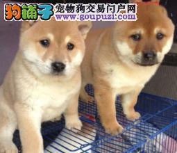 鼎诚犬舍出售高品质日本柴犬,包纯种健康