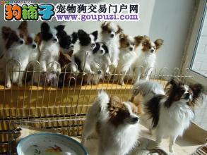 犬舍直销精品蝴蝶犬,包纯种健康签协议