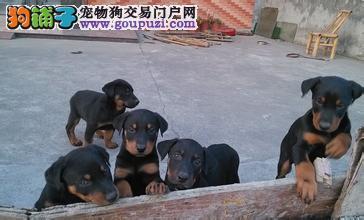 名佳宠物基地出售德系杜宾幼犬