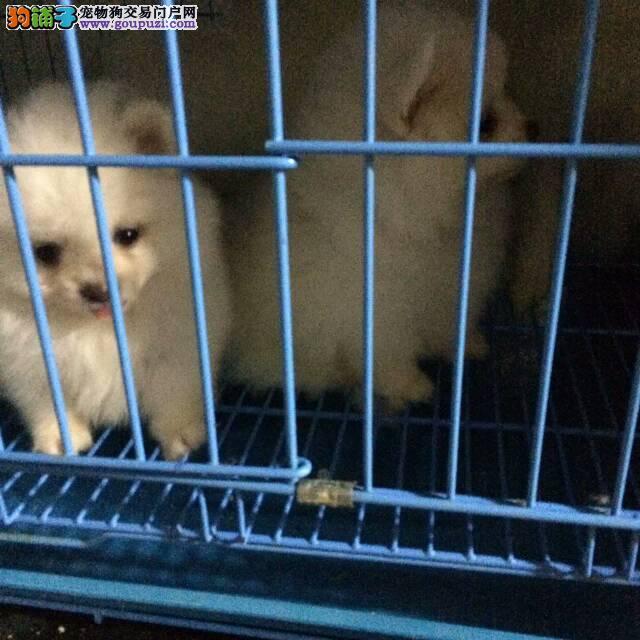 在上海买博美就选名佳犬舍,狗到付款