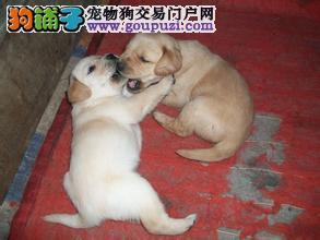 买拉布拉多就选名佳犬舍,江浙沪包送到家