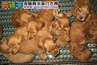 犬舍直销可卡幼犬,包纯种健康支持狗到付款