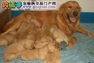 买金毛就选七宠犬舍,CKU认证犬舍