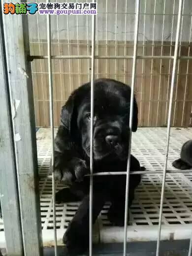 犬舍直销卡斯罗幼犬,包纯种健康