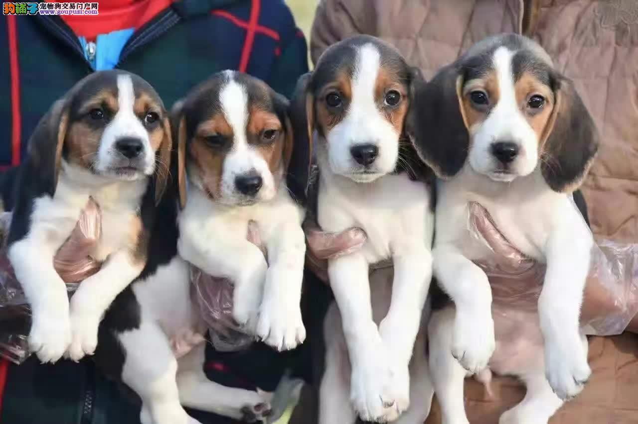 基地直销比格犬,完美售后签订购犬协议