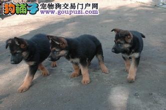基地出售德国牧羊犬,包纯种健康签协议