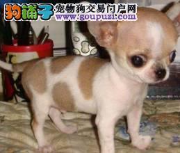 犬舍直销吉娃娃幼犬,包健康纯种签协议