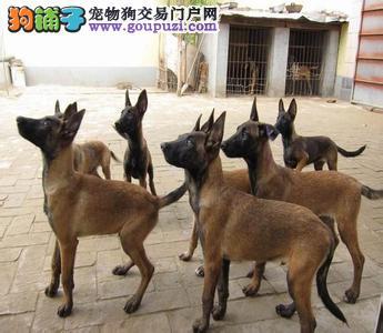 马犬犬舍直销,包纯种健康签订购犬合同