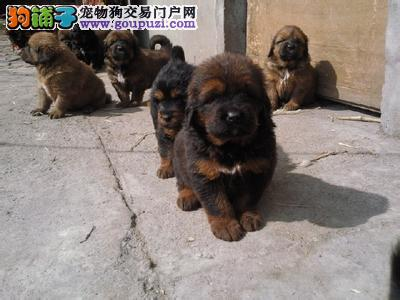 七宠宠物繁殖基地常年出售高品质藏獒幼犬
