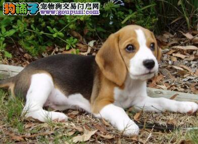 极品纯正的兰州比格犬幼犬热销中国外引进假一赔百