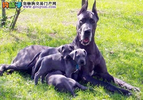 正规犬舍繁殖出售 大丹犬幼崽 疫苗齐全 包纯 可签订