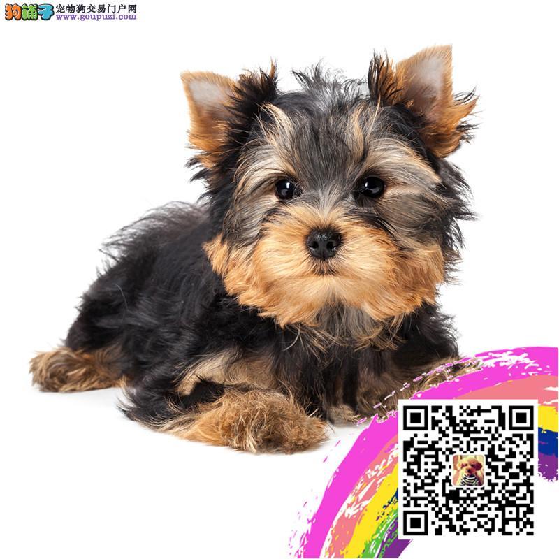 小体约克夏玩具体 泰迪博美比熊茶杯犬吉娃娃俊介犬