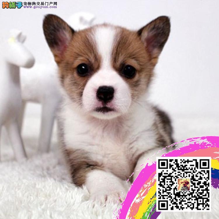 上海柯基犬舍出售柯基幼犬短粗腿火车头 三色两色都有