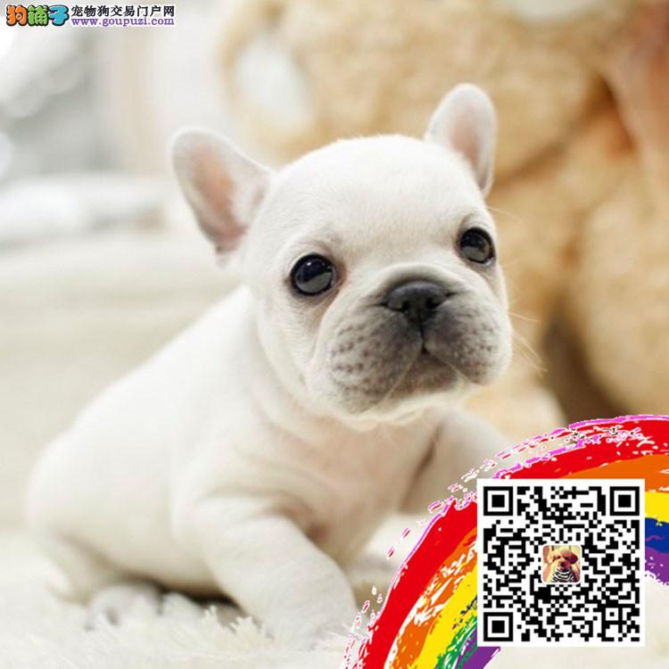 上海法斗犬舍出售高端血统法国斗牛犬幼犬法斗法牛幼犬