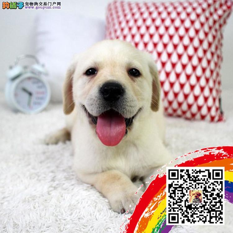 上海哪里有卖拉布拉多 东莞拉多幼犬价格多少转让买卖