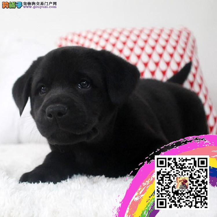 基地直销极品拉布拉多幼犬 保健康保纯种 签售后协议
