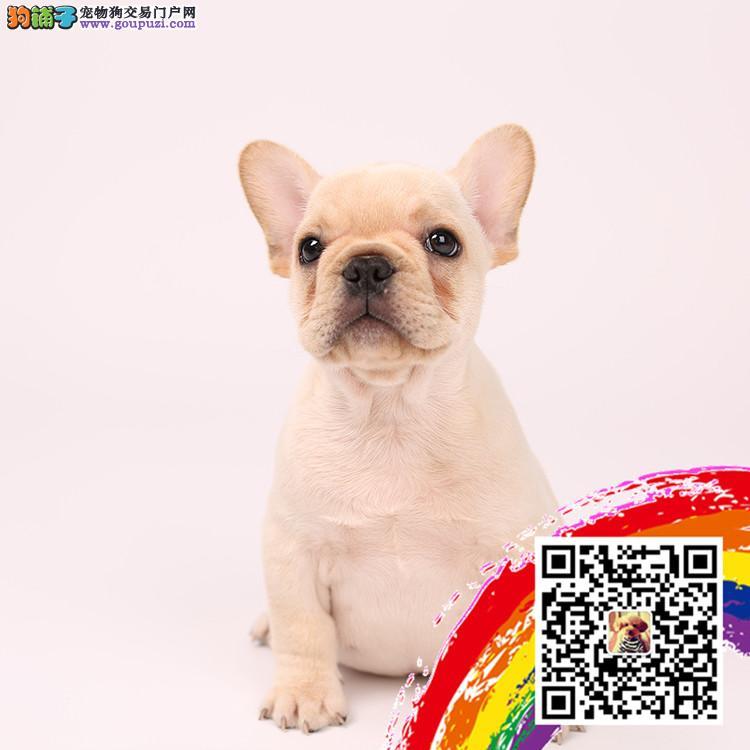 浙江法斗犬舍出售高端血统法国斗牛犬幼犬法斗法牛幼犬