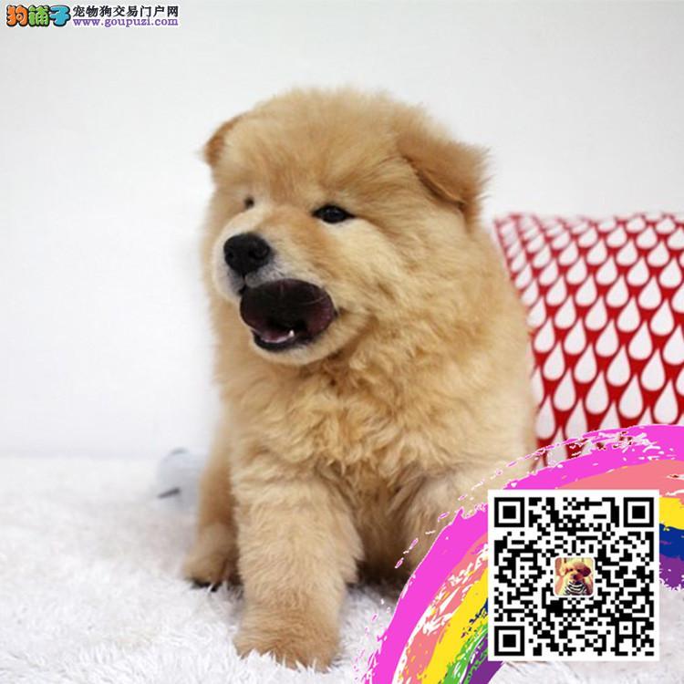 中国高端松狮犬繁育专家江苏松狮犬舍出售顶级松狮幼犬