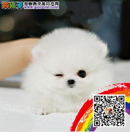 纯种哈多利版球体博美幼犬肩高不超18厘米不超过3斤