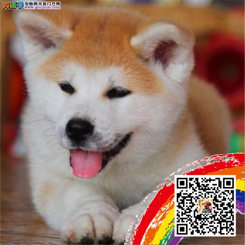 八公秋田犬出售了 家养品相好无杂毛带血统可上门挑选