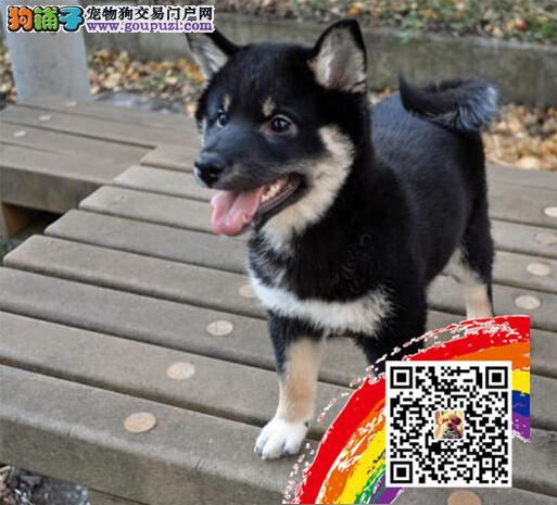 高品质日系小柴犬出售中 多只可选 签合同包健康