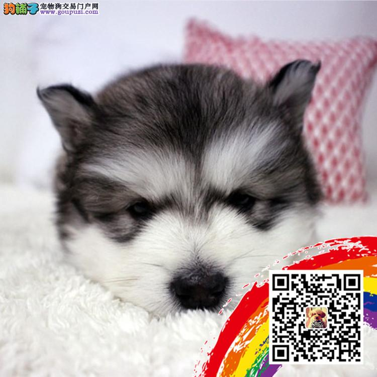 上海哪里有卖阿拉斯加 上海阿拉斯加价格多少 雪橇犬