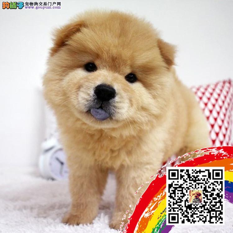 中国高端松狮犬繁育专家上海松狮犬舍出售顶级松狮幼犬